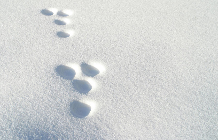Horizontal Photograph - Rabbit Footprints In The Snow 2 by Jack Dagley