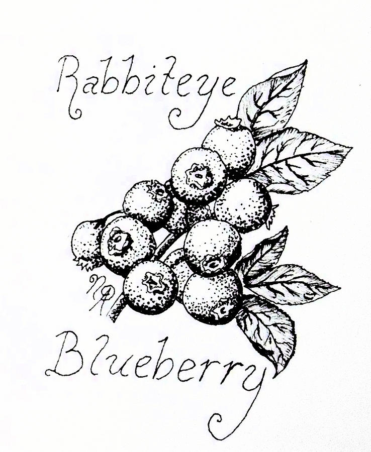 Berry Drawing - Rabbiteye Blueberry by Nicole Angell