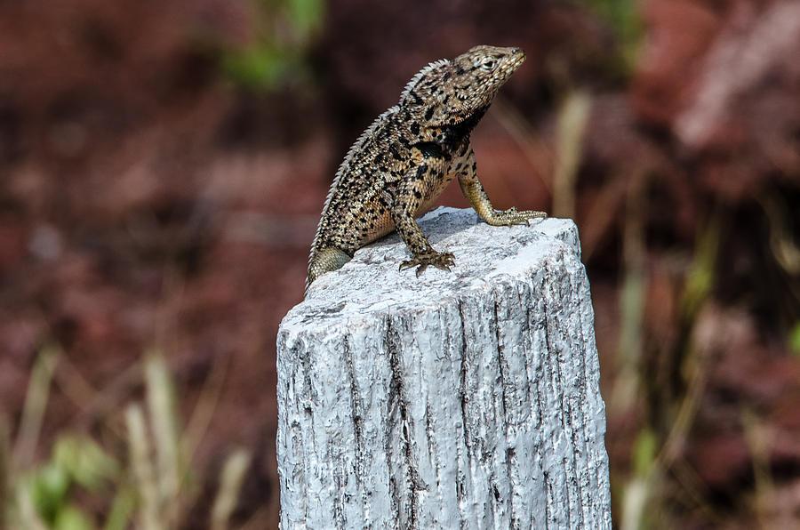 Galapagos Photograph - Rabida Lava Lizard by Harry Strharsky