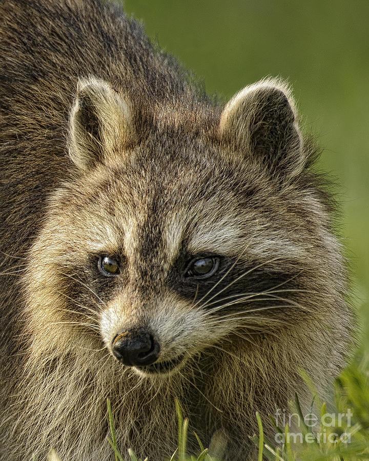 Raccoon Face Photograph by Timothy Flanigan Raccoon Face