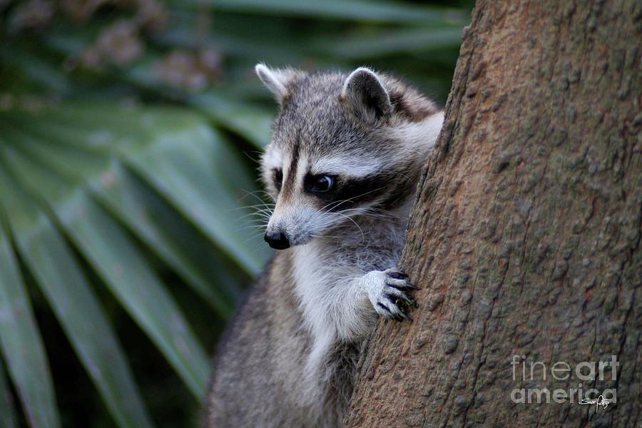 Raccoon Photograph - Raccoon by Scott Pellegrin