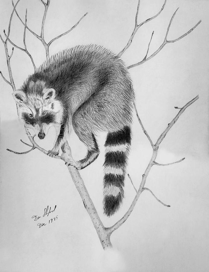 Wildlife Drawing - Raccoon Treed  by Daniel Shuford