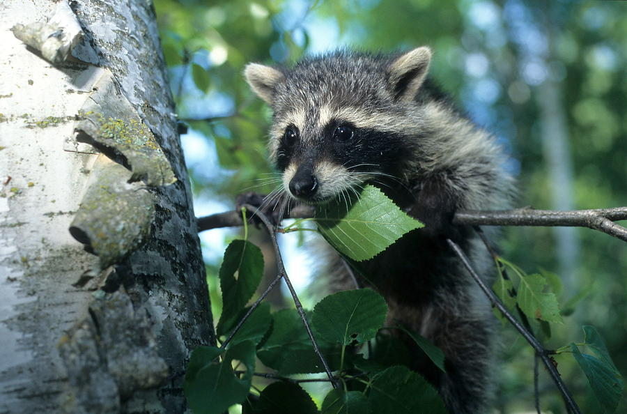 Wildlife Photograph - Raccoon--up We Go by Larry Allan
