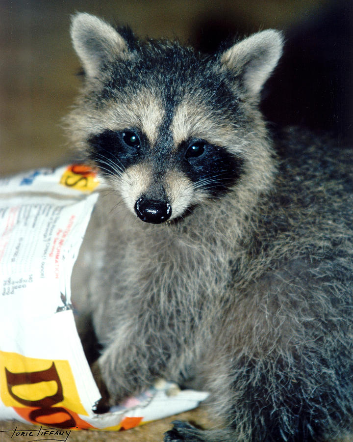 Raccoon Photograph - Raccoon1 Snack Bandit by Torie Tiffany