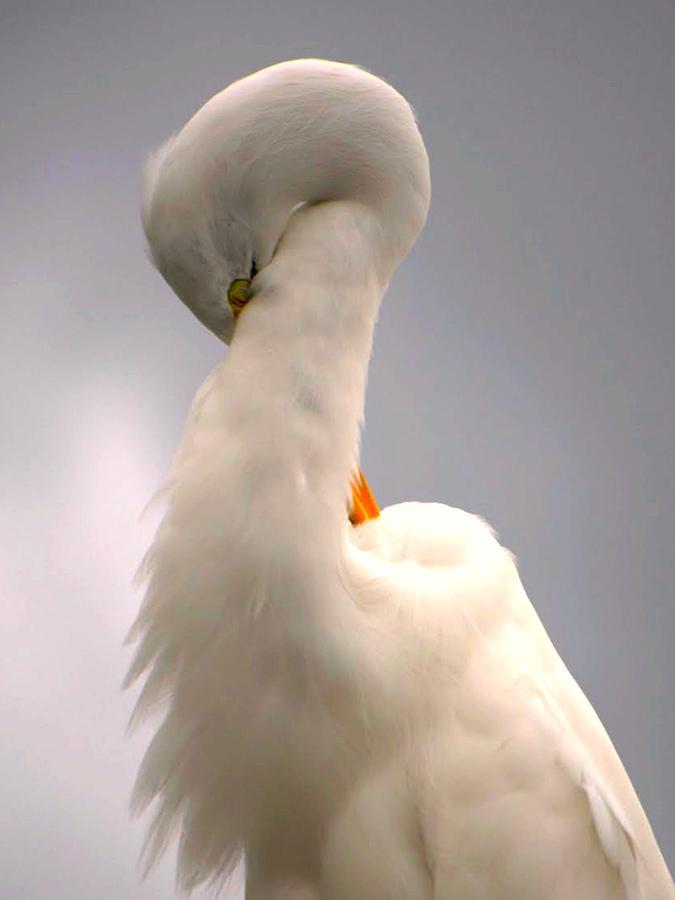 Great White Egret Photograph - Radiant Beauty by Jennifer A Garcia