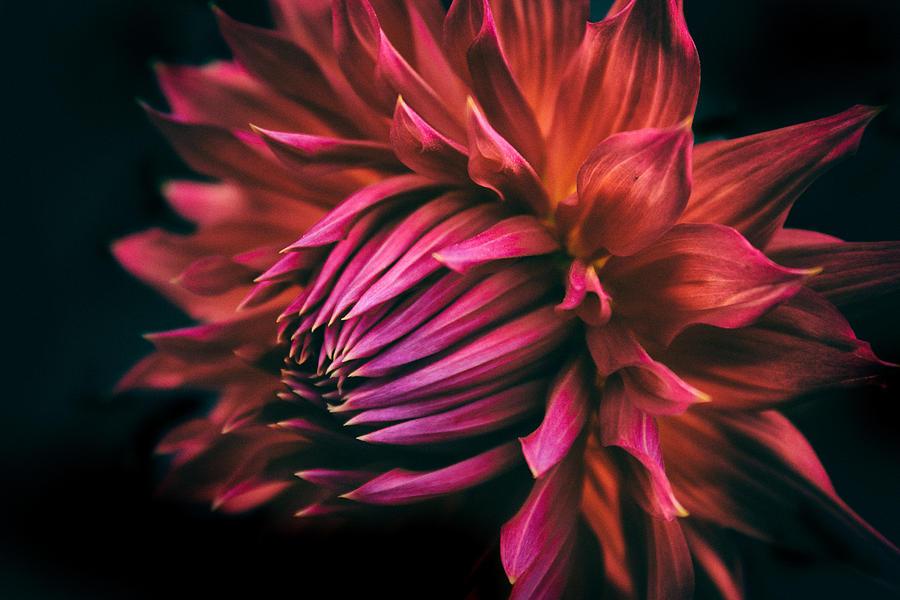 Dahlia Photograph - Radiant Dahlia   by Jessica Jenney