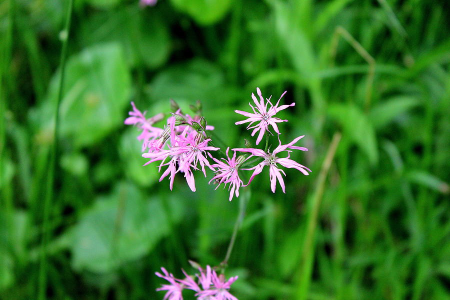 Hayfield Photograph - Ragged Robin II by Brian Lucia
