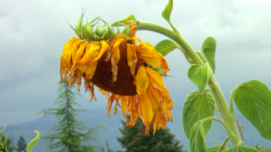 Ragged Sunflower - Sunflowers by Marie Jamieson