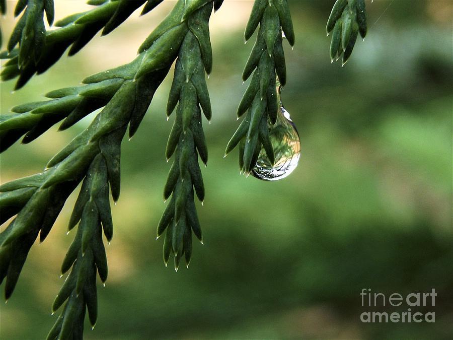Rain Drop - Leyland Cypress Photograph
