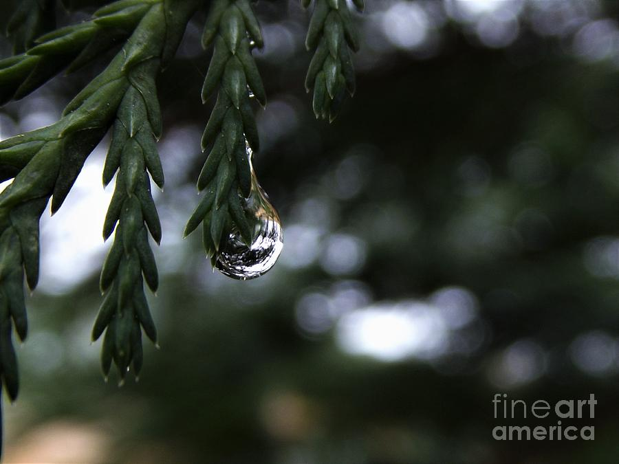 Rain Drop On Our Leyland Cypress Tree Photograph