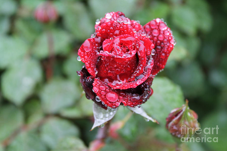 Spring Photograph - Rain Drop Rose by Chester Taplette