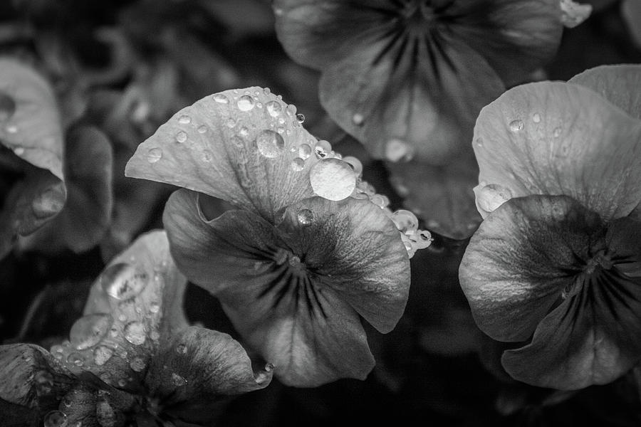 Flower Photograph - Rain Drops In The Morning by Alex Rossi