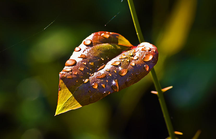Landscape Photograph - Rain Drops On Leaf by Michael Whitaker
