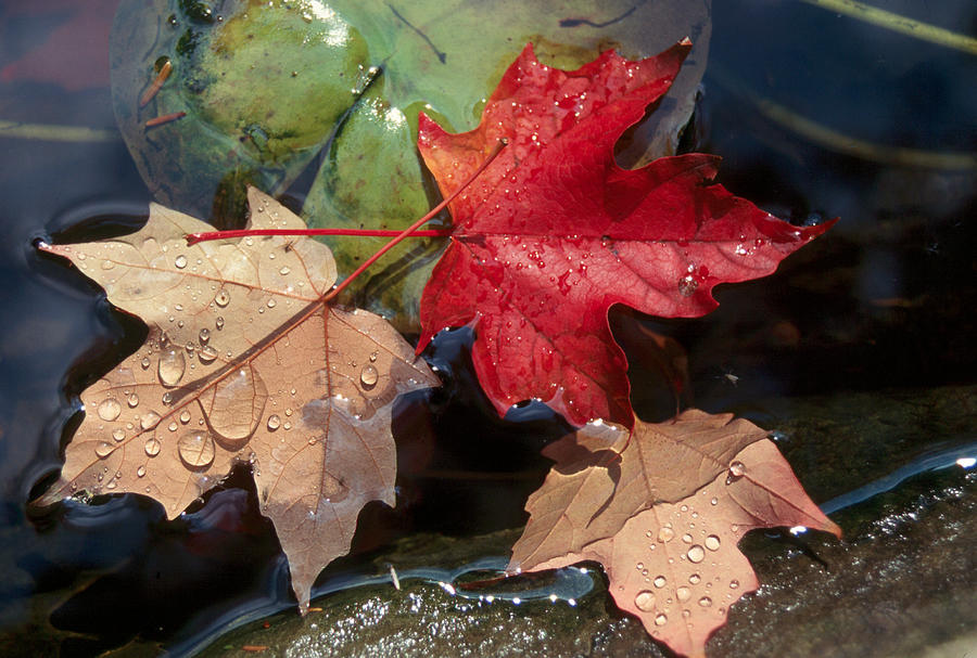 Fall Photograph - Rain Drops On Leaves by Raju Alagawadi