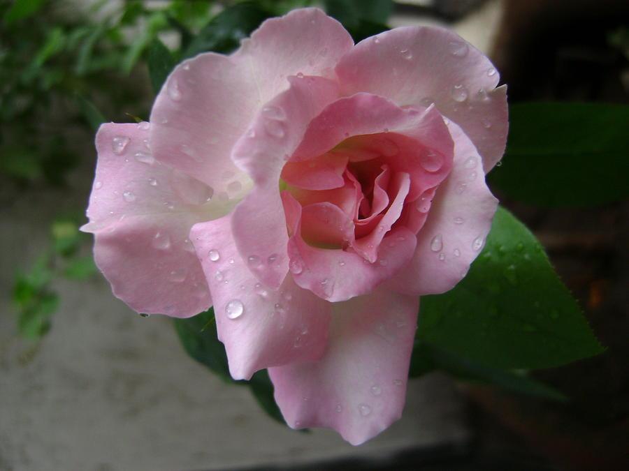 Pink Rose Photograph - Rain Drops On Pink Rose by Vijay Abhyankar