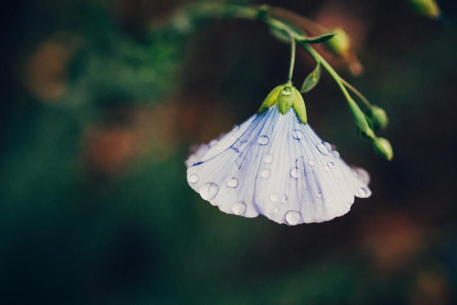Macro Photograph - Rain Tickled by Tracy  Jade