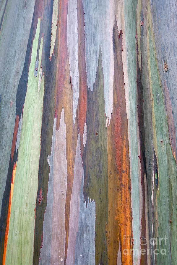 Rainbow Bark Of Mindano Gum Tree Photograph