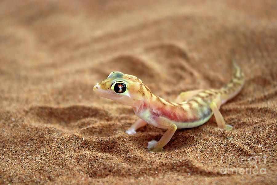 Rainbow Gecko Photograph by Jennie MacDonald