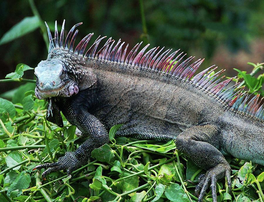 rainbow iguana digital art by michael thomas