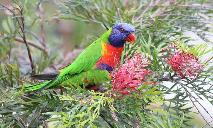 A male rainbow lorikeet, how to tell male