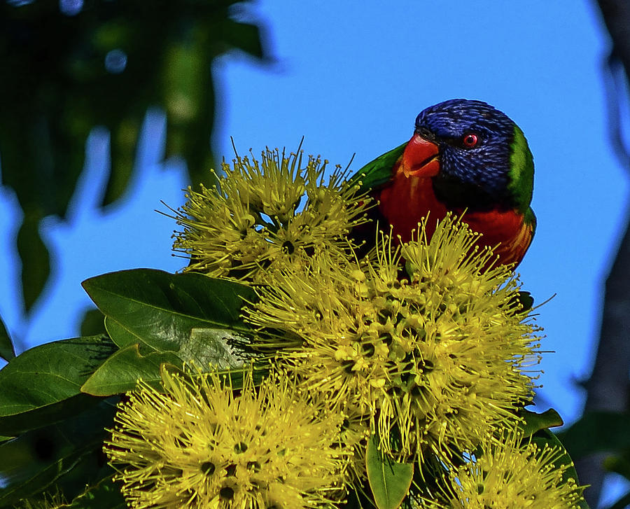 Rainbow Lorikeet Photograph - Rainbow Lorikeet by Shane Miles Roane Photography