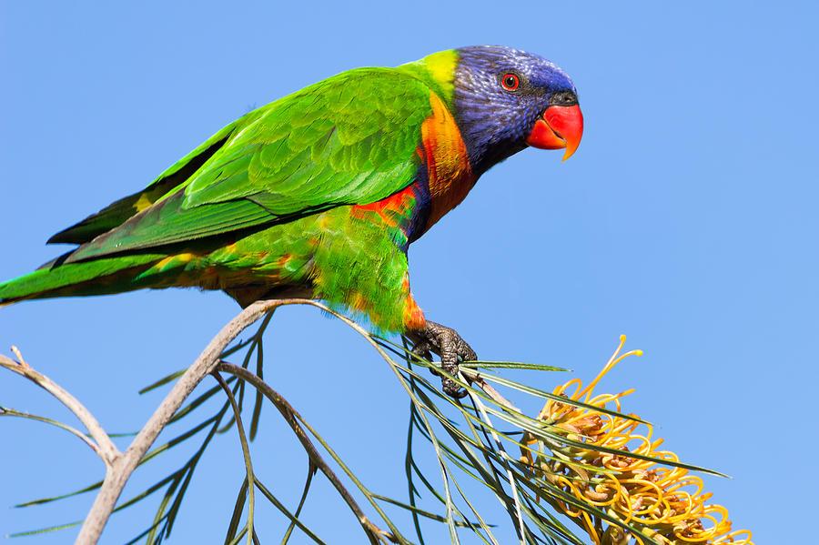 Bird Photograph - Rainbow Lorikeet by Teale Britstra