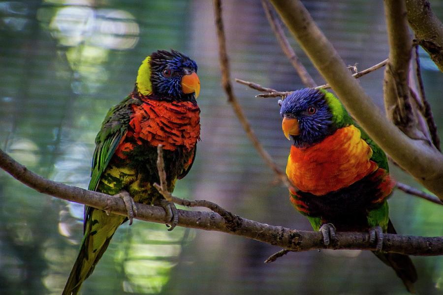 Rainbow Lorikeet Photograph - Rainbow Lorikeets by Donald Pash