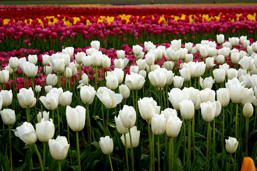 Flowers Photograph - Rainbow Of Tulips by Sonja Anderson