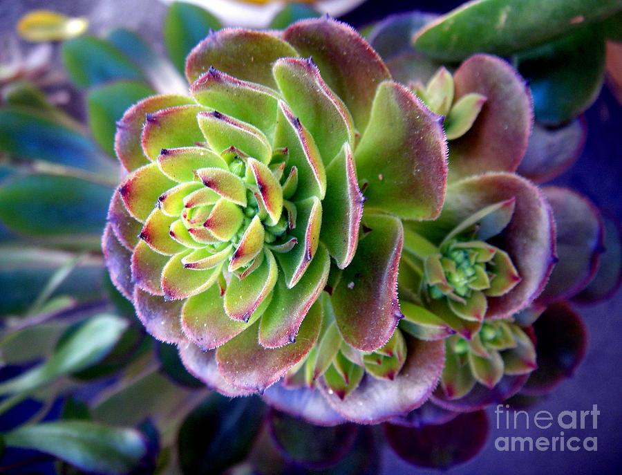Rainbow Succulent on elephant plant, aloe vera plant, skin care stonecrop plant, variegated jade plant, peperomia house plant, purple rose succulent plant, rainbow fern house plant,