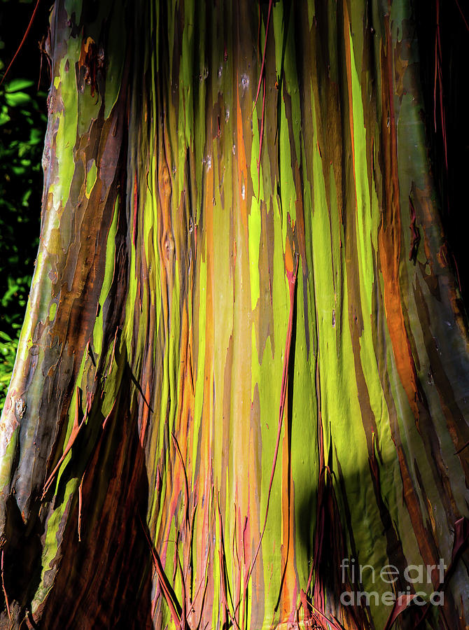 Rainbow Tree Photograph - Rainbow Tree by Jon Burch Photography