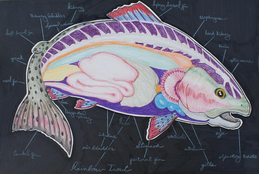 Rainbow Trout Anatomy - Colorful Fly Fishing Fish Drawing by Dennis ...
