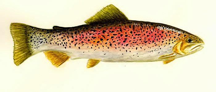 Fish Painting - Rainbow Trout by Michael Vigliotti