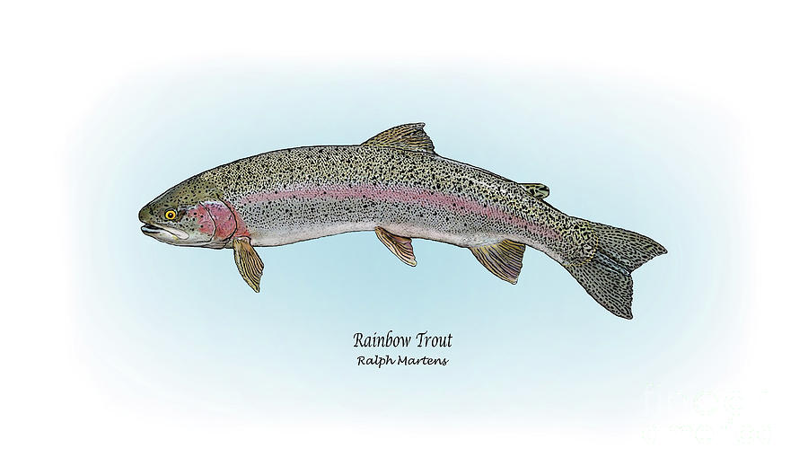 Rainbow Trout Painting - Rainbow Trout by Ralph Martens