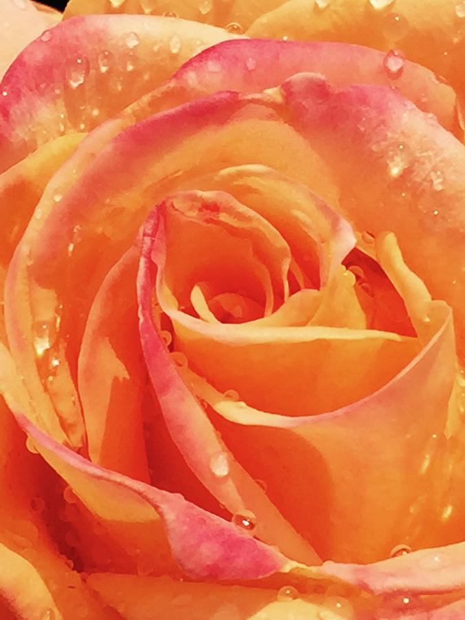 Rose Photograph - Raindrops and Petals by Beverly Johnson