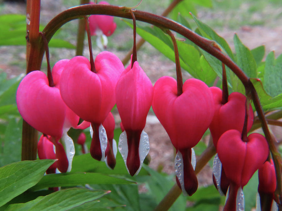Flowers Photograph - Raindrops On Pink Bleeding Hearts by Richard Griffis