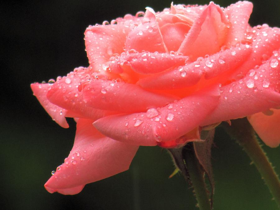 Water Photograph - Raindrops On Roses... by Stephanie Schneider