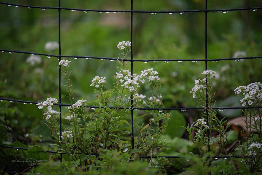 Raindrops Photograph - Raindrops On The Garden Fence by Karen Casey-Smith