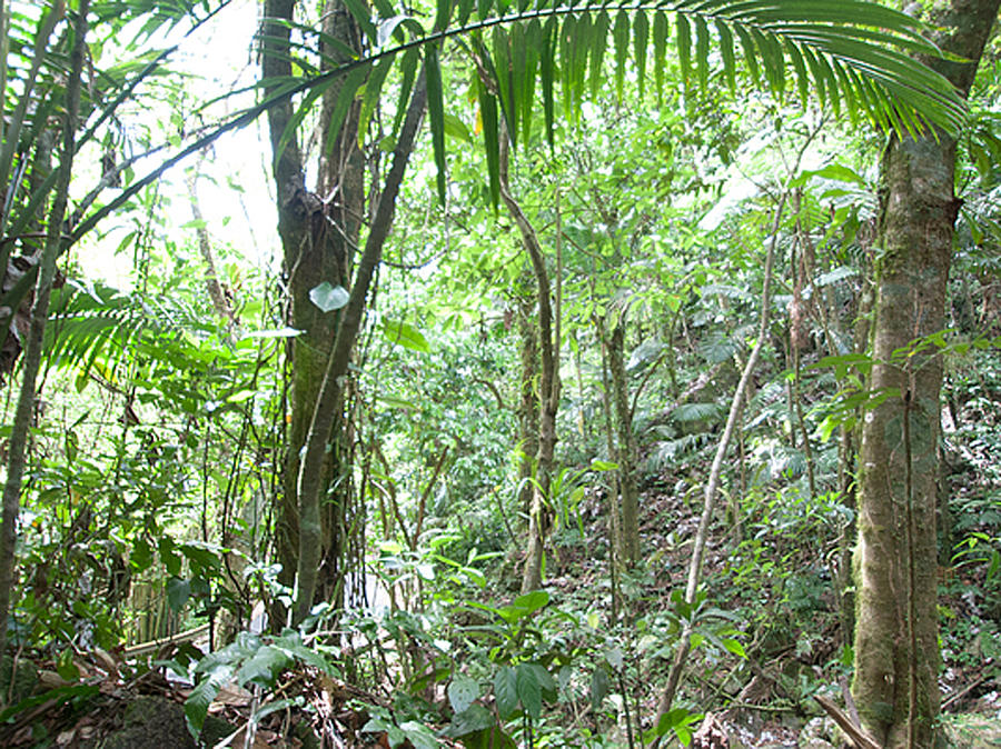 Rainforest Trees Photograph by Sybil DAmico