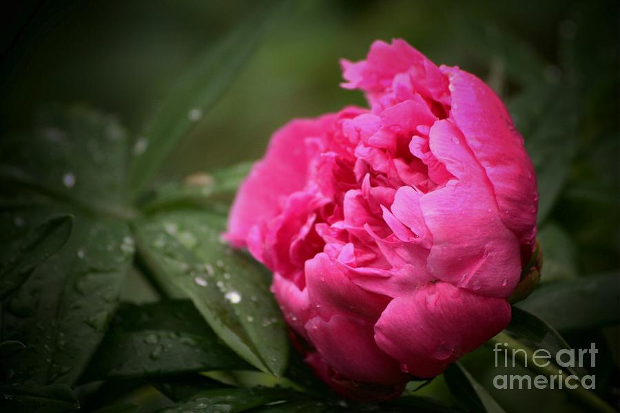 Peony Photograph - Rainsoaked Peony by Marjorie Imbeau