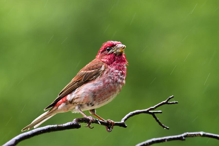 Bird Photograph - Rainy Day Bird - Purple Finch by Christina Rollo