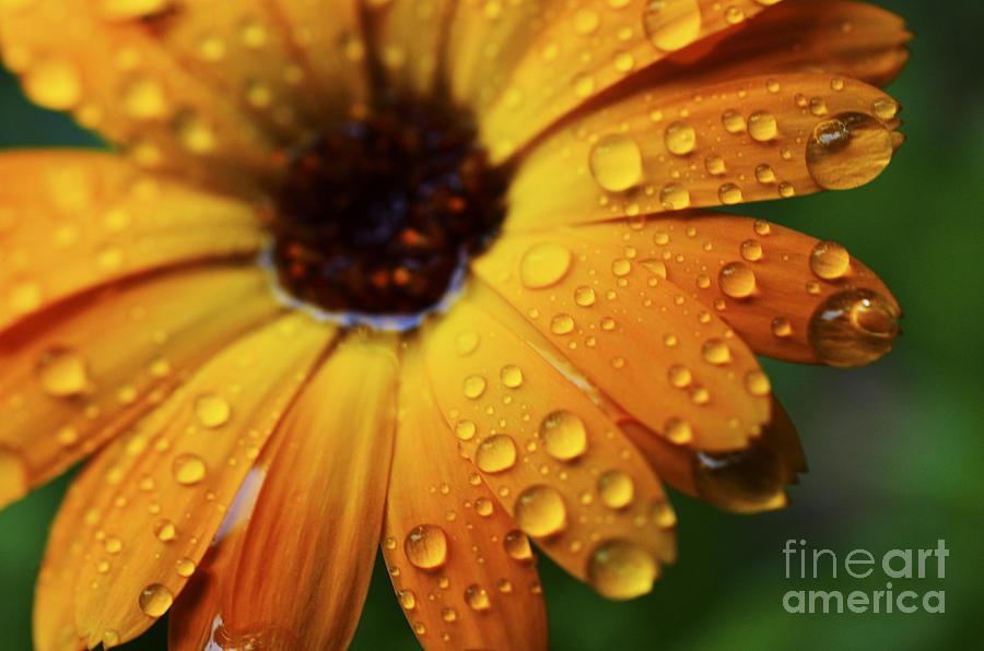 Orange Photograph - Rainy Day Daisy by Thomas R Fletcher