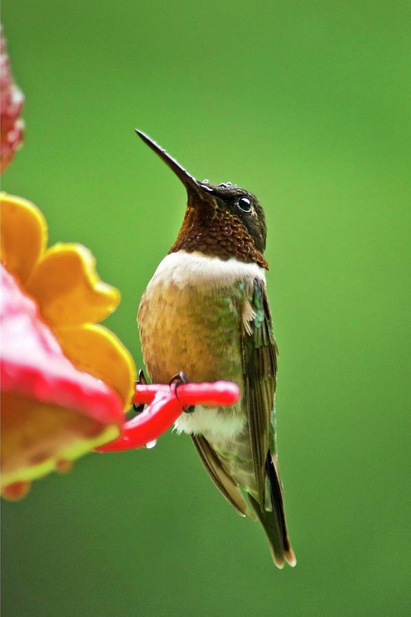 Hummingbirds Photograph - Rainy Day Hummingbird by Christina Rollo