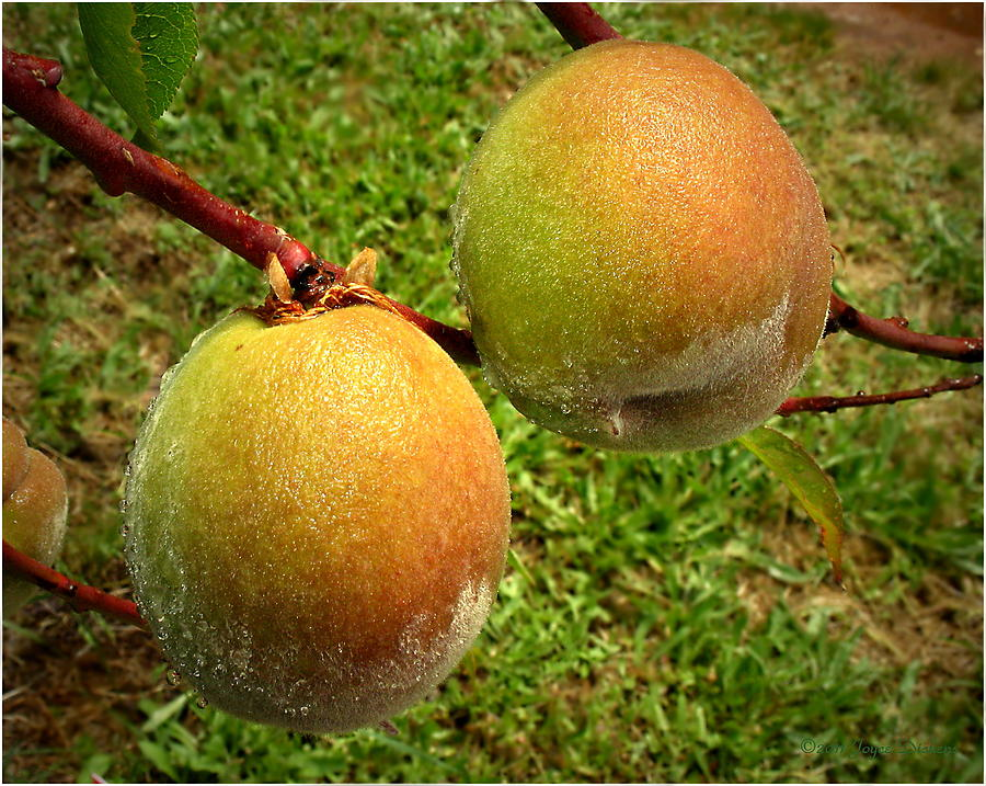 Peach Photograph - Rainy Day Peaches by Joyce Dickens