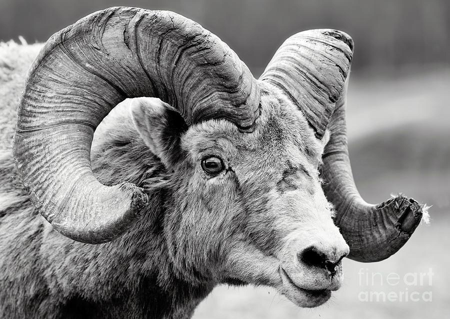Ram by Shannon Carson