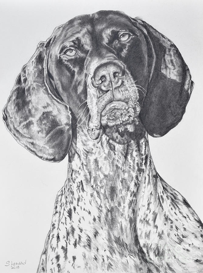 German Shorthair Pointer Drawing - Ramsay by Suzanne Leonard