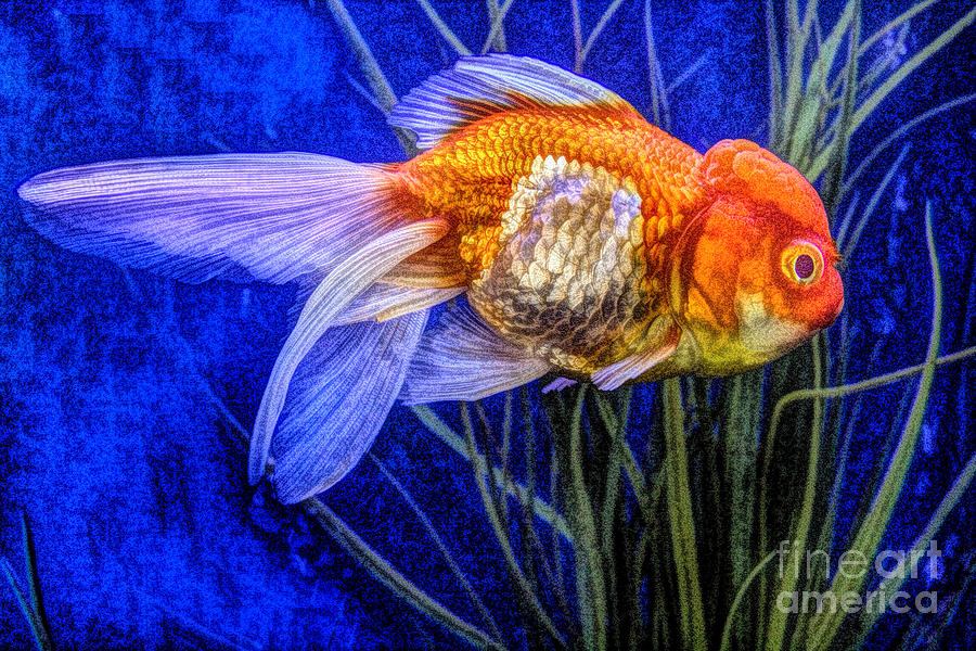 Ranchu Goldfish Swims Amongst The Seagrass by Wernher Krutein