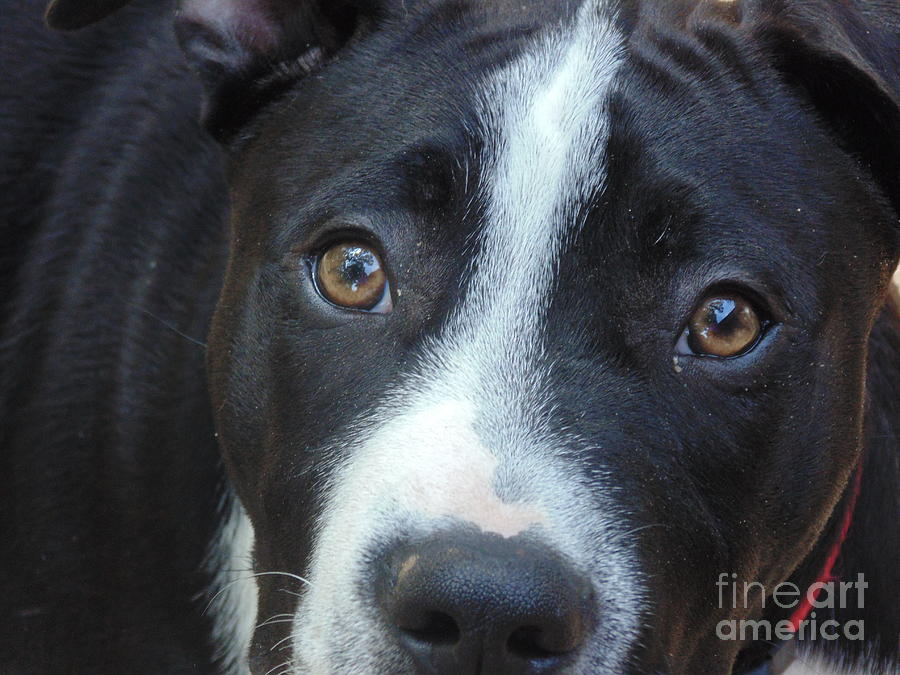 Pit Bull Photograph - Ranger by Ginny Youngblood