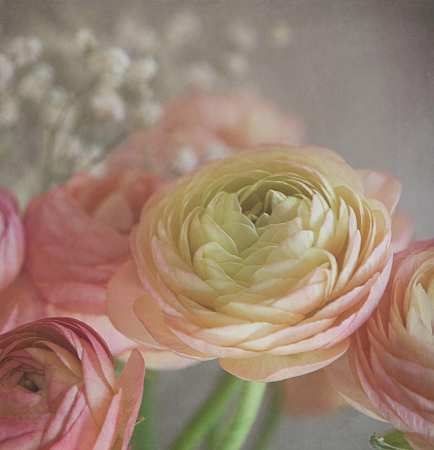 Ranunculus Photograph - Ranunculus - 6243 by Teresa Wilson