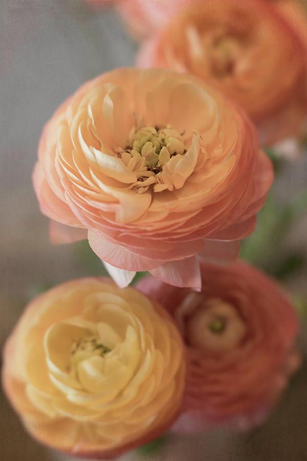 Ranunculus Photograph - Ranunculus - 6296 by Teresa Wilson
