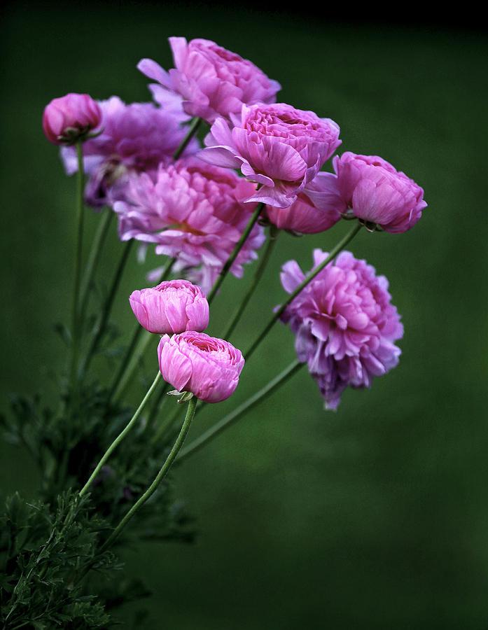 Ranunculus Photograph by James Steele